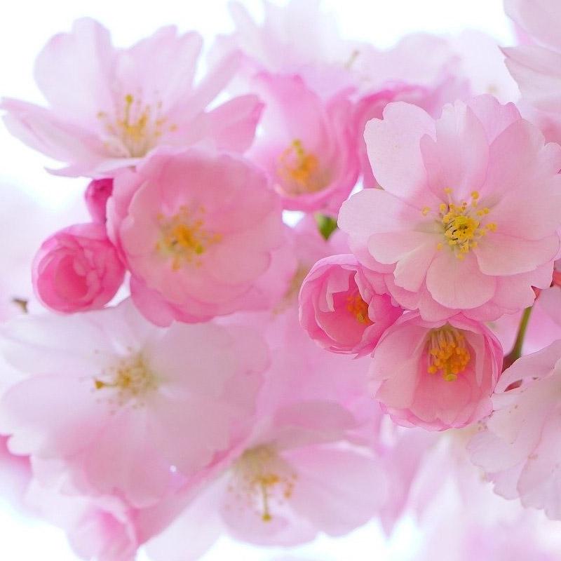 kwiat-czeresni