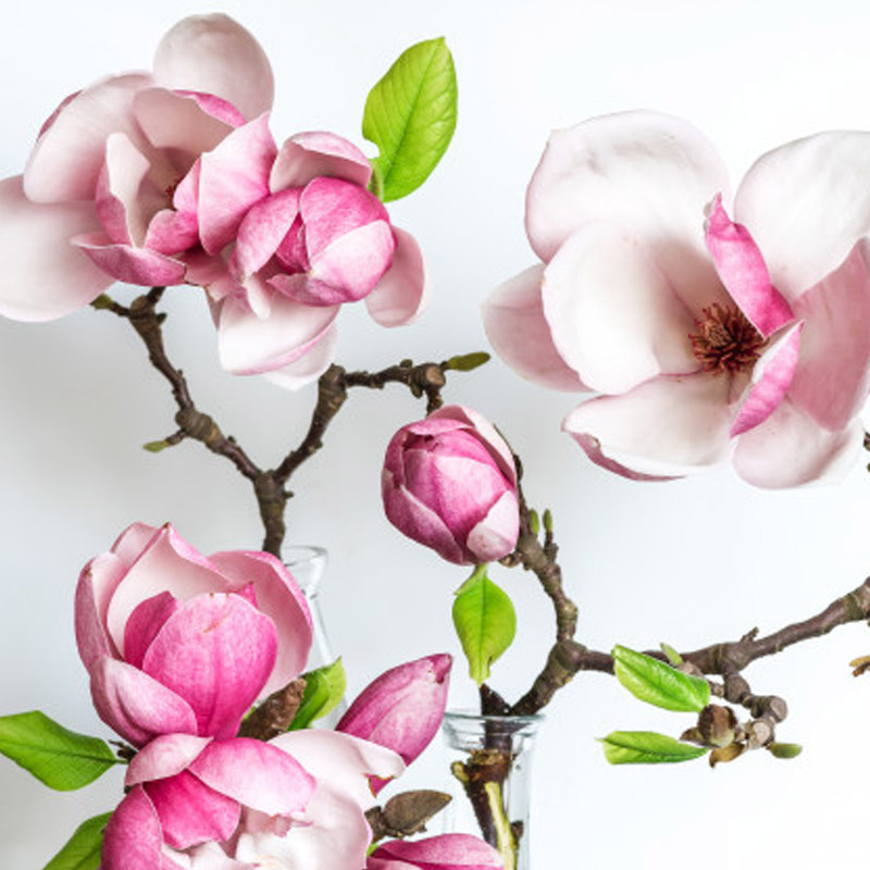 magnolia-spring-flower-800x800